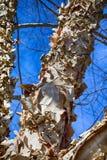 与卷曲的吠声的Paperbark桦树 免版税库存图片