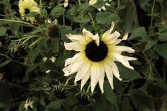 与卷曲的瓣的白和黄色向日葵 免版税库存图片