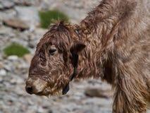 与卷曲羊毛的年轻西藏牦牛变褐颜色,特写镜头画象 免版税库存照片