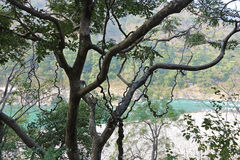 与卷曲藤的树 免版税库存图片