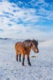 与厚实的冬天外套的当地冰岛马 免版税库存图片