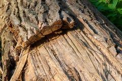 与厚实的吠声的死的树 免版税库存图片
