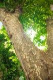 与厚实的树干的树反对太阳 免版税图库摄影