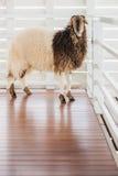 与厚实的羊毛身分,目光接触的一只绵羊 免版税库存图片