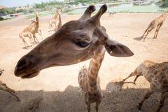 与友好行动的长颈鹿对照相机 免版税库存照片