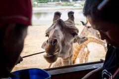 与友好行动的长颈鹿 免版税库存图片