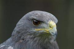 与反射在它, s的一只灰色猎鹰注视 免版税库存照片