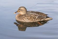 与反射的一只野鸭鸭子 免版税库存图片