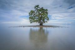 与反射的一棵偏僻的唯一树在Kudah海滩沙巴马来西亚 免版税库存图片