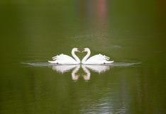 与反射的两只天鹅 免版税库存图片