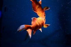 与反射的异乎寻常的红色鱼 库存图片
