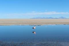 与反射的弗拉门戈队在盐湖(玻利维亚) 图库摄影