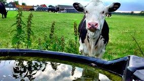 与反射的母牛 免版税图库摄影