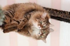 与反射的猫在镜子 免版税库存图片