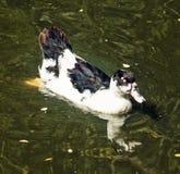 与反射的美丽的鸭子在湖,详细的动物照片 库存照片