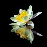 与反射的莲花 免版税图库摄影