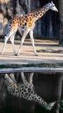与反射的长颈鹿在雨水坑 库存图片