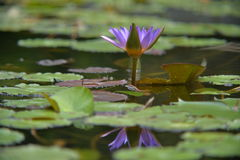 与反射的紫色莲花在水中 免版税库存图片