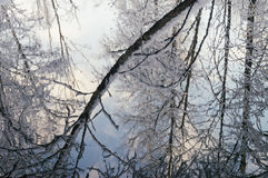 与反射的水表面从多雪的树 库存照片