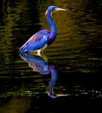 与反射的Tricolored苍鹭 免版税库存照片