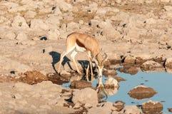 与反射饮用水的一只跳羚 库存照片