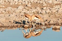 与反射饮用水的两只跳羚 免版税库存照片