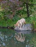 与反映的土狼 库存图片