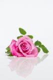 与反映的粉红色玫瑰 库存图片