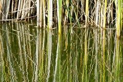 与反映的草在水中 免版税库存图片