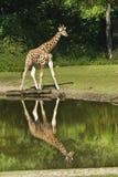 与反映的长颈鹿在水中 免版税库存图片