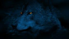 与发光的眼睛的狼侧视图在晚上 股票视频