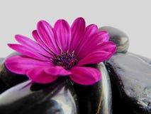 与发光的黑石头的充满活力的紫色海角延命菊雏菊花 库存图片