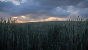 与发光通过多云天空的美好的金黄日落的绿色麦田 股票录像