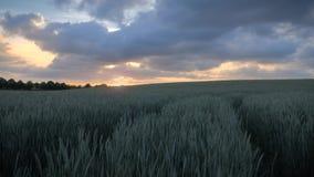 与发光通过多云天空的美好的金黄日落的绿色麦田 股票视频