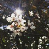与发光通过树的太阳的美丽的白花 免版税库存图片