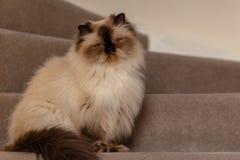 与发型的喜马拉雅猫在半轮坐台阶 库存照片