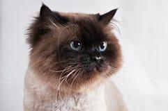与发型的喜马拉雅猫在半轮被隔绝的演播室坐 免版税库存图片