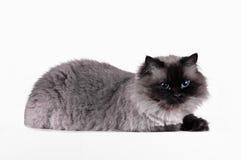 与发型的喜马拉雅猫在半轮被隔绝的演播室坐 免版税图库摄影