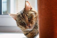 与取暖一只黄色的猫的镶边灰色说谎在帷幕后的窗台和在阳光下 免版税库存图片