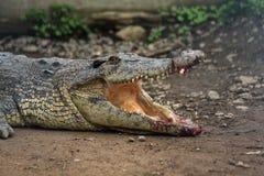 与受伤的开放嘴的鳄鱼 免版税图库摄影