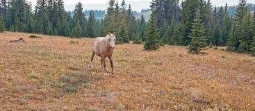 与受伤的腿的巴洛米诺马公马野马在普莱尔山野马范围的黄昏日落在蒙大拿美国 库存照片