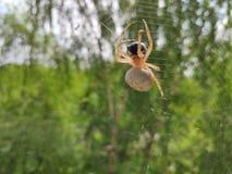 与受害者的蜘蛛 免版税库存图片
