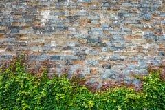与古城墙壁的常春藤 免版税库存图片