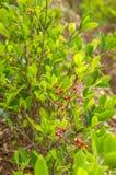 与古柯叶子的灌木  免版税库存照片