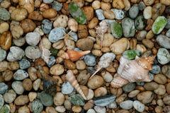 与另一个小贝壳的自然镶边Fox巧克力精炼机壳在被研的小卵石石头驱散了 免版税库存图片
