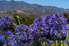 与另外锋利、山和蓝天的蓝色爱情花在背景中 免版税库存图片