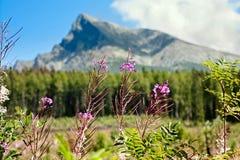 与叫作野草的Chamaenerion angustifolium的夏令时风景以登上为背景在山H的Krivan 免版税库存图片
