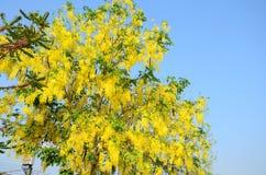 与叫作黄金雨树的桂皮瘘的风 免版税库存照片