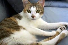 与可爱的眼睛的美丽的猫 库存图片