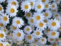 与可爱的雏菊的开始早晨 免版税图库摄影